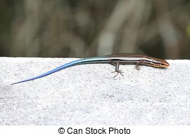 Pictures of Five Lined Skink.