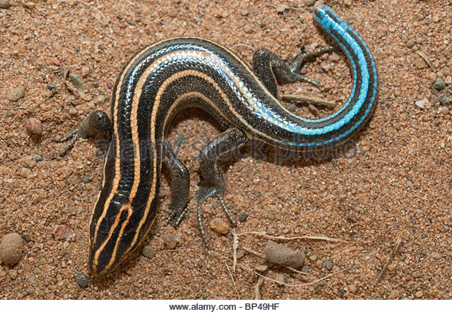 Five Lined Skink Lizard Stock Photos & Five Lined Skink Lizard.