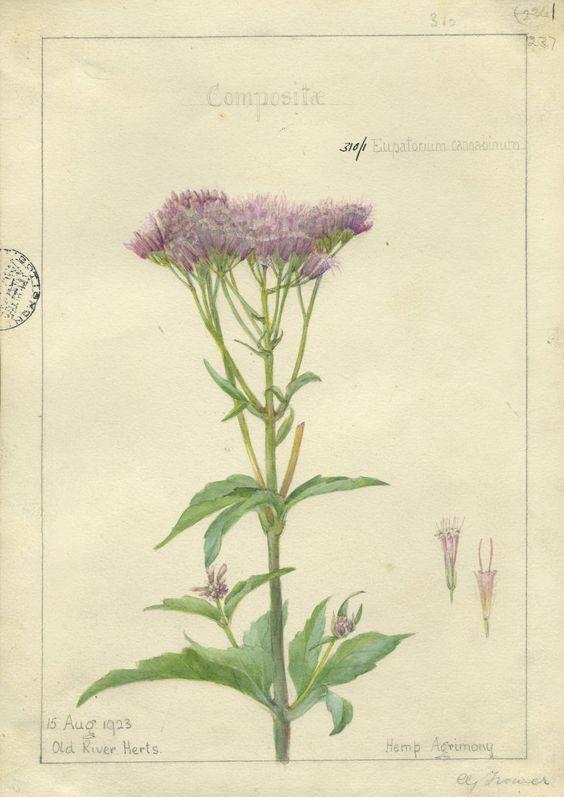 eupatorium cannabinum.