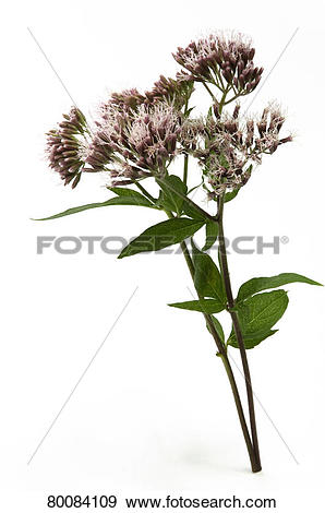 Stock Photograph of DEU, 2009: Hemp Agrimony (Eupatorium cannabium.