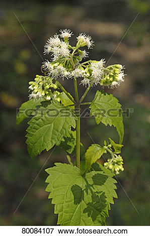 Picture of DEU, 2009: White Snakeroot (Ageratina altissima.