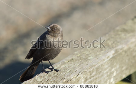 New World Blackbirds Stock Photos, Royalty.