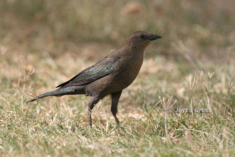 CalPhotos: Euphagus cyanocephalus; Brewer's Blackbird.