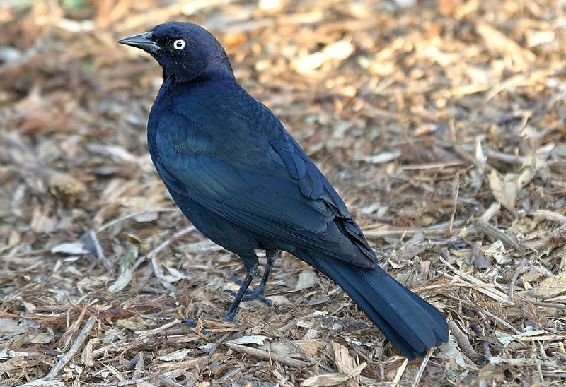 Brewer's Blackbird (Euphagus cyanocephalus) videos, photos and.