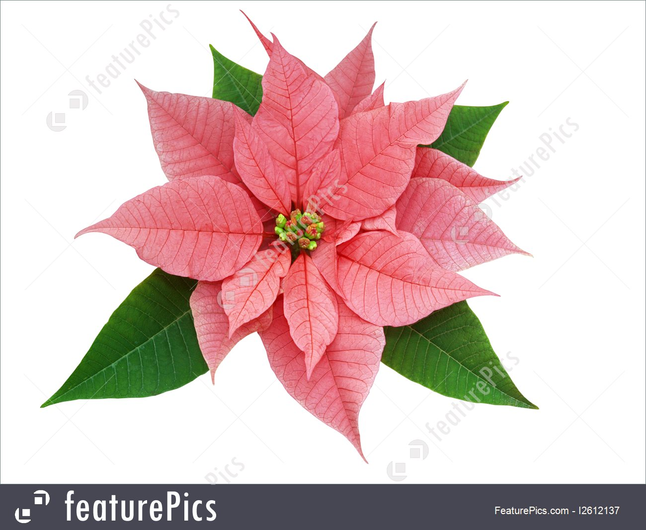 Pink poinsettia clipart.
