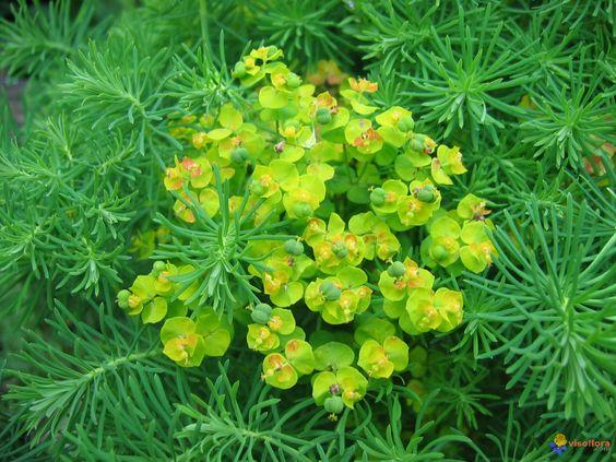 Euphorbia cyparissias.