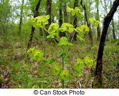Pictures of Euphorbia.
