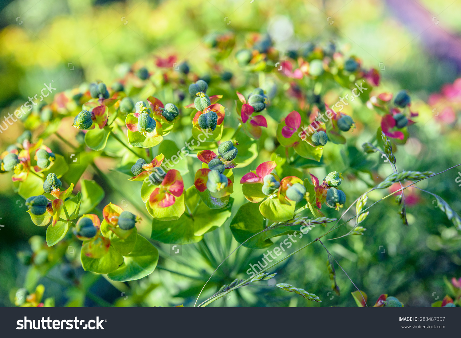 Euphorbia Cyparissias, The Cypress Spurge, Is A Species Of Plant.