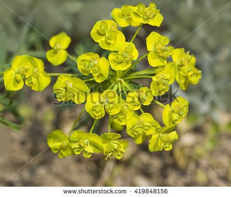 Euphorbia Stock Photos, Royalty.