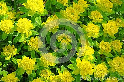 Euphorbia Flowers Stock Images.