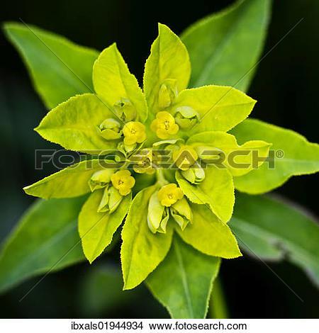 Stock Photo of Cushion spurge (Euphorbia epithymoides.