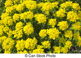 Euphorbia Stock Photos and Images. 1,844 Euphorbia pictures and.