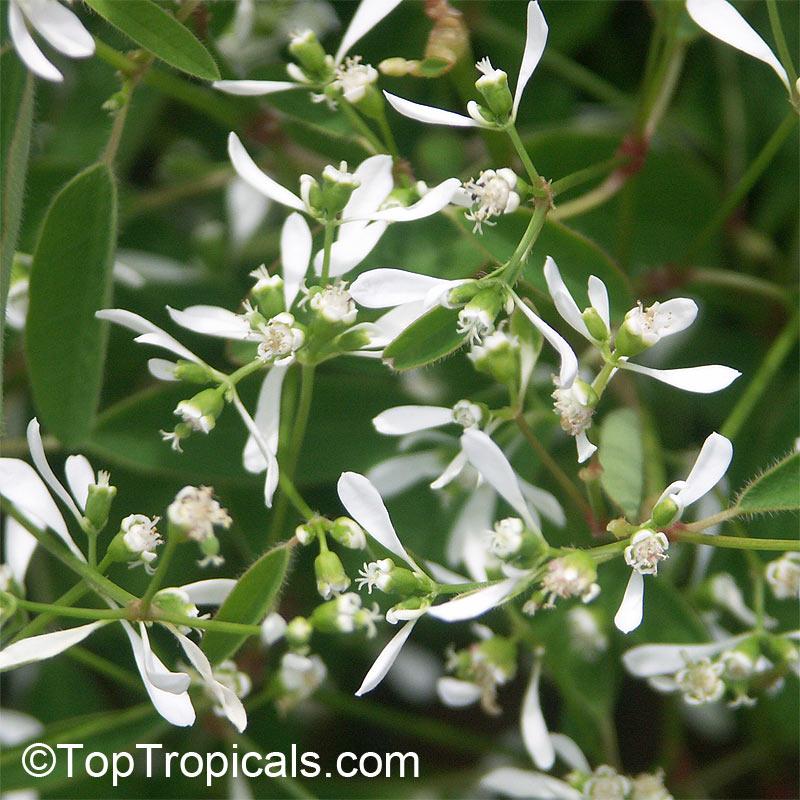 Euphorbia hypericifolia Inneuphdia, Diamond Frost.