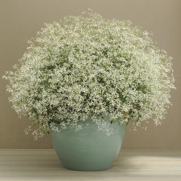 Euphorbia (Euphorbia hypericifolia).