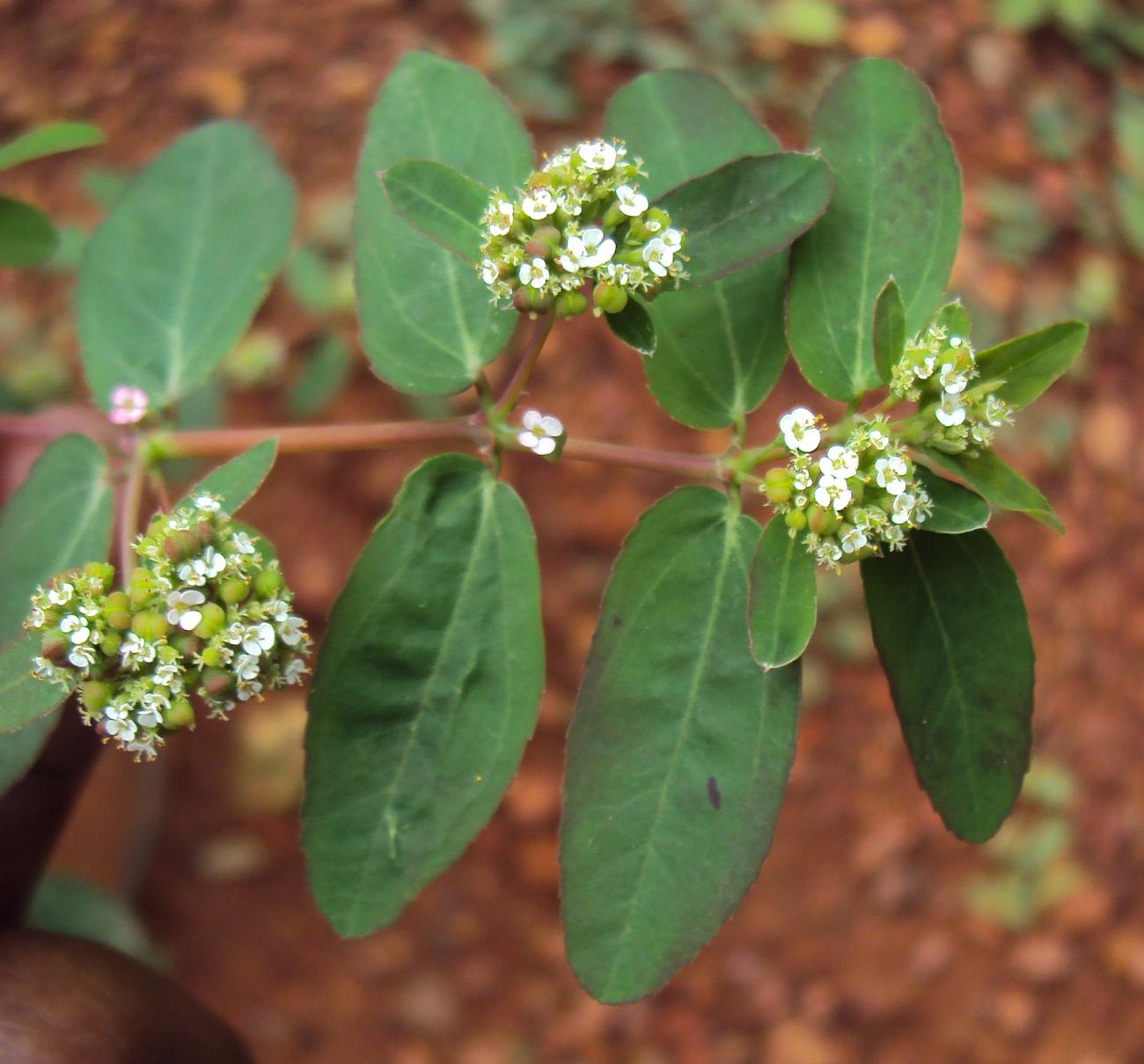 File:Euphorbia hypericifolia 10.JPG.