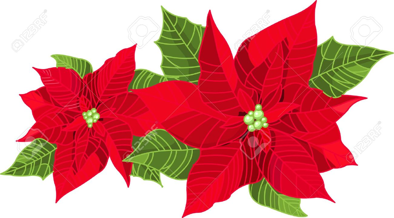 Christmas Decoration Poinsettia Flower (Euphorbia Pulcherrima.
