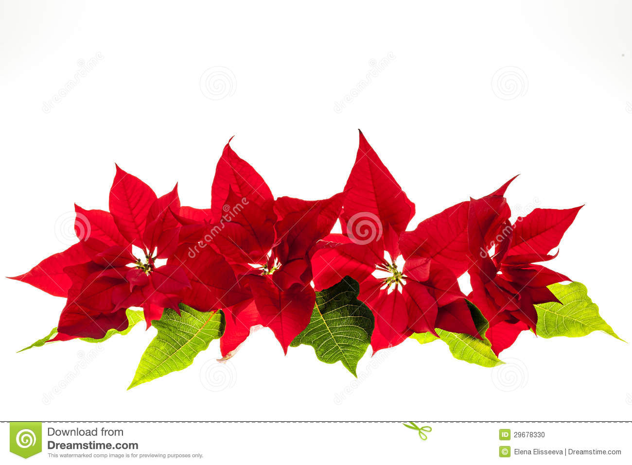 Arrangement With Christmas Poinsettias Stock Photo.