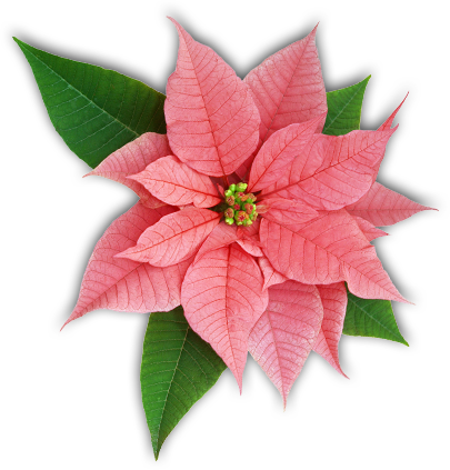 Poinsettia Flower.