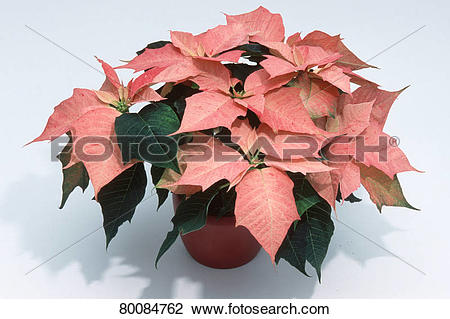 Stock Photo of DEU, 2003: Poinsettia (Euphorbia pulcherrima.