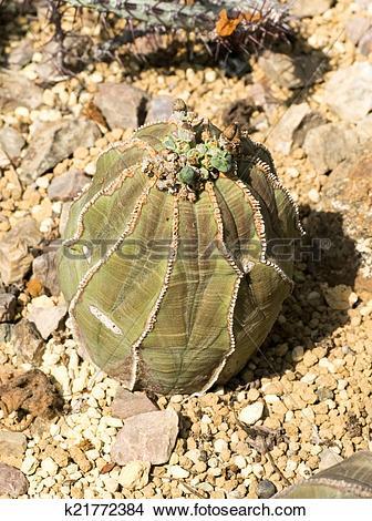 Stock Photo of Euphorbia obesa, Euphorbiaceae k21772384.