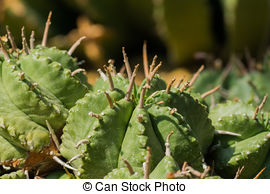 Euphorbia makallensis Stock Photos and Images. 12 Euphorbia.