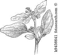 Euphorbiaceae Clip Art and Illustration. 26 euphorbiaceae clipart.