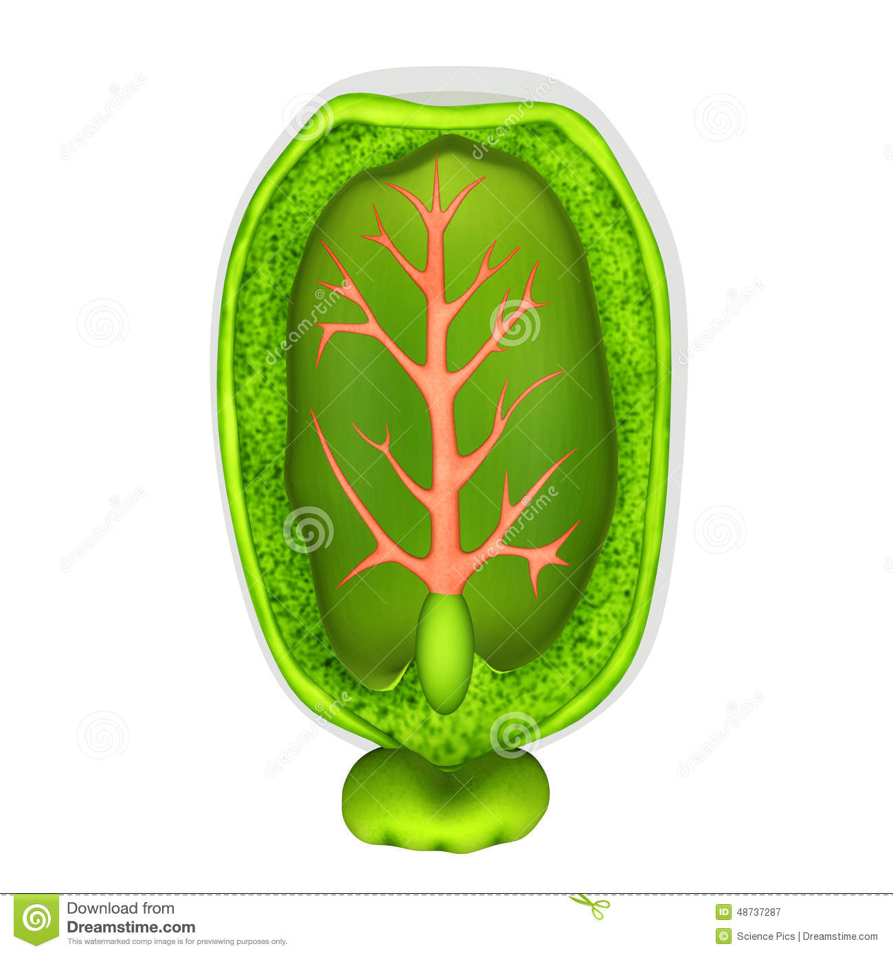 Castor Seed Stock Illustration.
