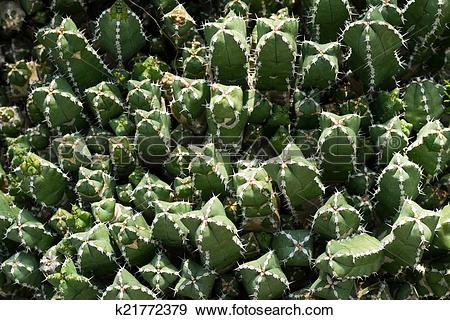 Stock Photograph of Euphorbia makallensis,Euphorbiaceae k21772379.