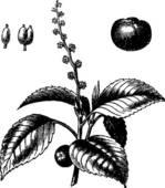 Euphorbiaceae Clip Art.