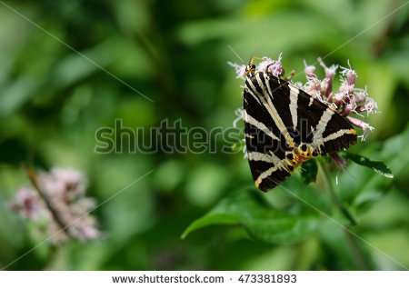 Tiger Moth Stock Photos, Royalty.