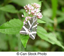 Stock Image of Jersey Tiger Butterfly (Euplagia Quadripunctaria.
