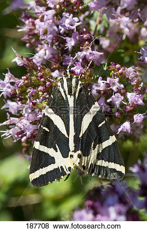 Pictures of Jersey Tiger Moth, Russian Tiger Moth (Euplagia.