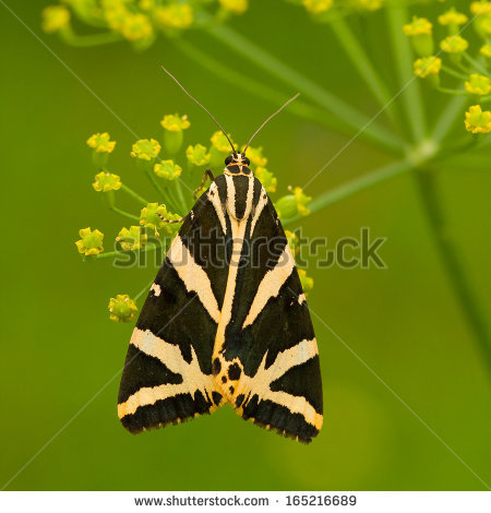 Jersey tiger moth Stock Photos, Jersey tiger moth Stock.