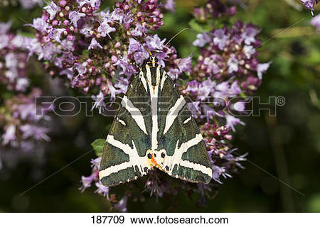 Stock Photograph of Jersey Tiger Moth, Russian Tiger Moth.