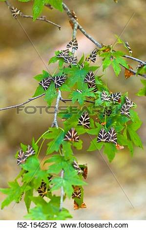 Stock Photo of JERSEY TIGER MOTH Euplagia quadripunctaria, the.