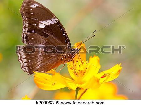 Stock Image of Common Indian Crow Butterflies (Euploea core.