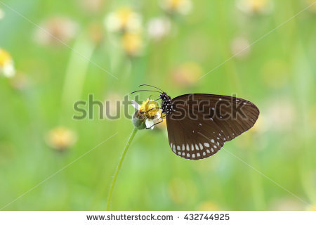 Euploea Stock Photos, Royalty.