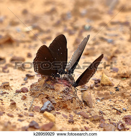 Stock Photograph of Common Indian Crow butterfly (Euploea core.