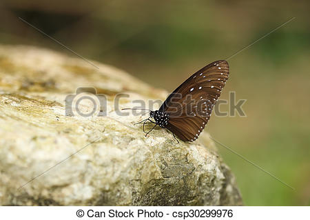Picture of Common Indian Crow butterfly (Euploea core Lucus) on.