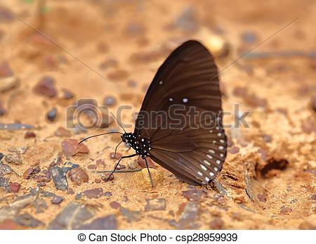 Stock Photos of Common Indian Crow butterfly (Euploea core Lucus.