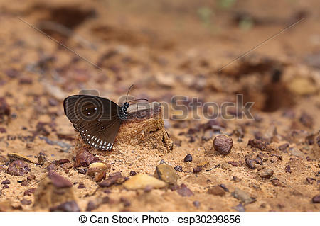 Stock Images of Common Indian Crow butterfly (Euploea core Lucus.
