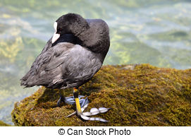 Stock Photo of Eurasian Coot (Fulica atra) standing in shallow.