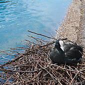 Stock Photo of Eurasian coot bird, Fulica atra k14580934.