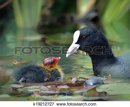 Picture of Eurasian coot with its baby k19212727.