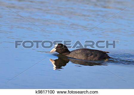 Stock Photography of Eurasian coot (Fulica atra) k9817100.