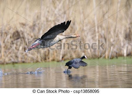Stock Photographs of Greylag goose an a Eurasian Coot csp13858095.