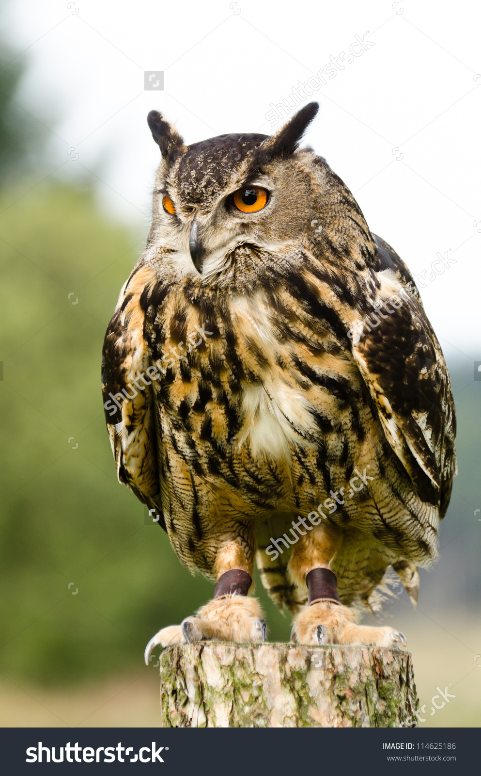 Eurasian Eagle Owl On Log Eurasian Stock Photo 114625186.