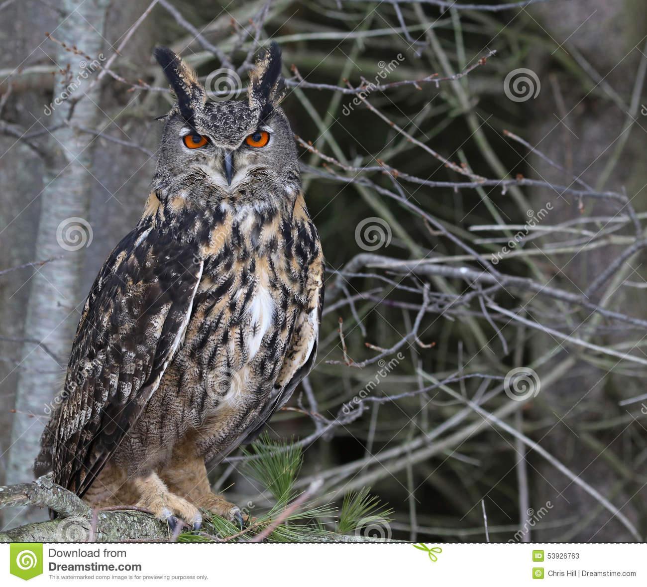 Eurasian Eagle Owl In A Tree Stock Photo.