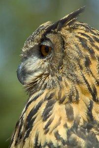 European Eagle Owl Clip Art.