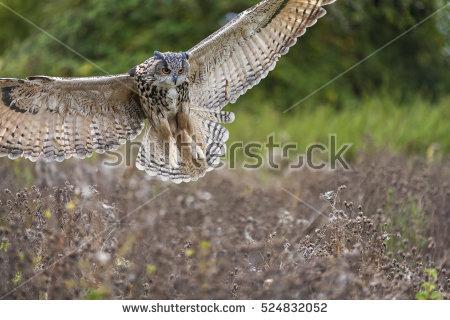 Eurasian Eagle Owl Bubo Bubo Comes Stock Photo 143220748.